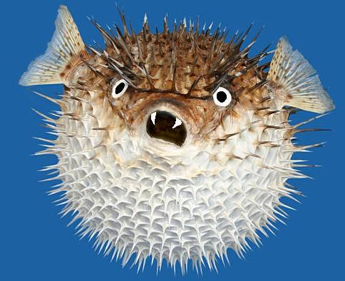 Angefressener Vampir-Kugelfisch